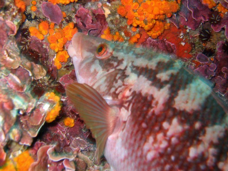 coris julie pez arcoíris submarinismo