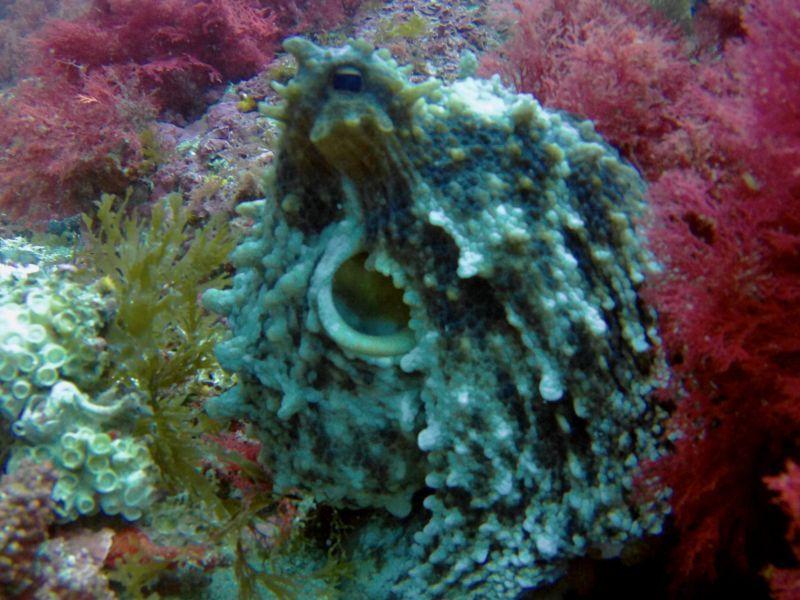Octupus at Tarifa's sea