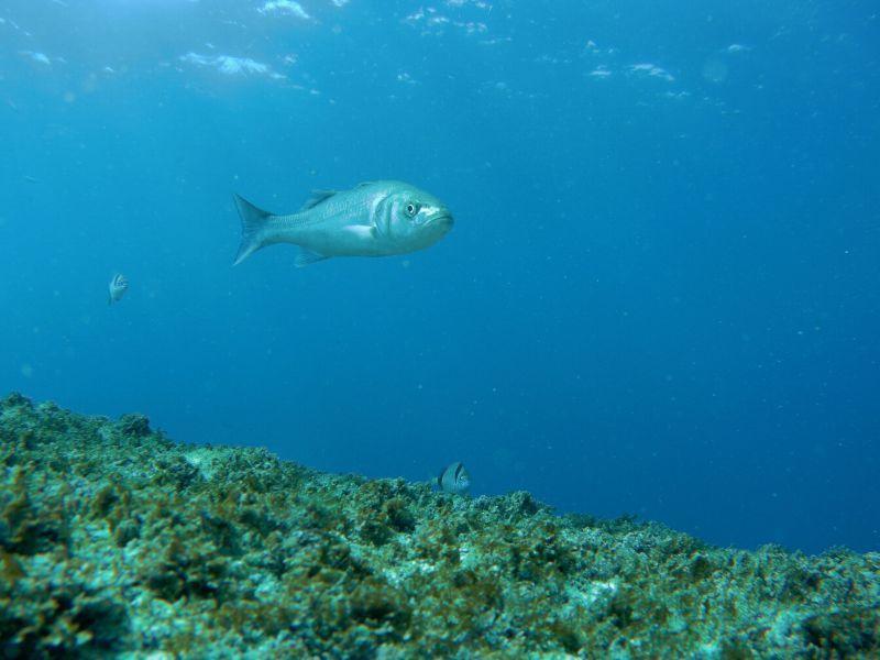 Lubina en Tarifa submarinismo